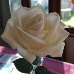 rose_nadia